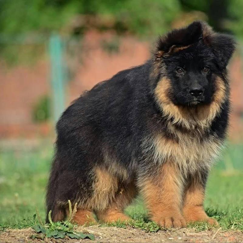 Heavy Bone double Coat German Shepherd For Sale || By