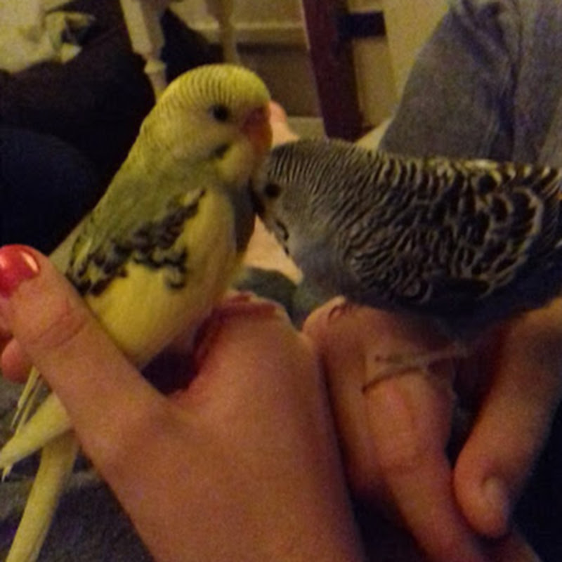 Olive and Olaf budgie life (olive-and-olaf-budgie-life)