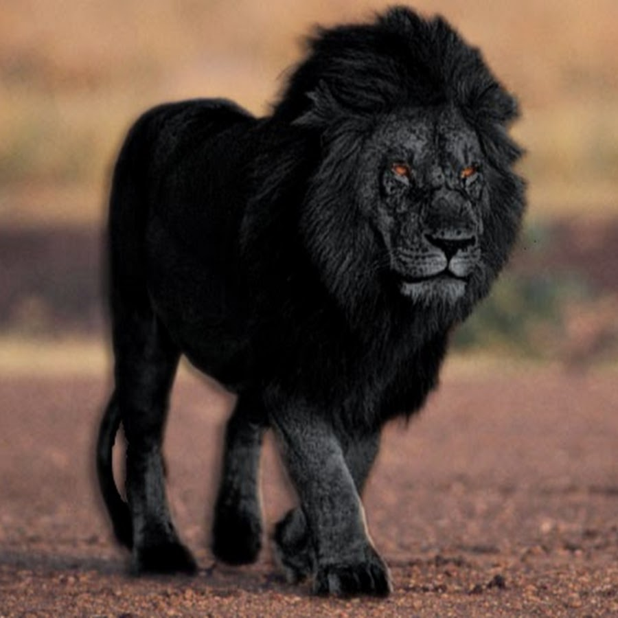 black lion video 1992 imdb - 900×900