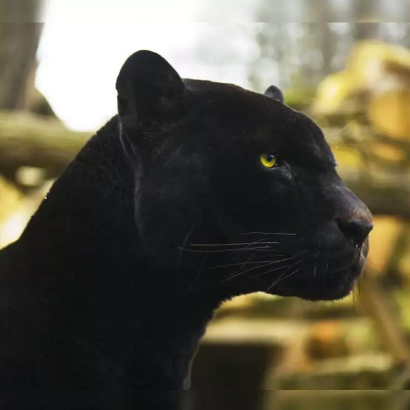 pantherino