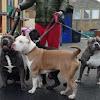 The Giant Bully Pitbulls Family