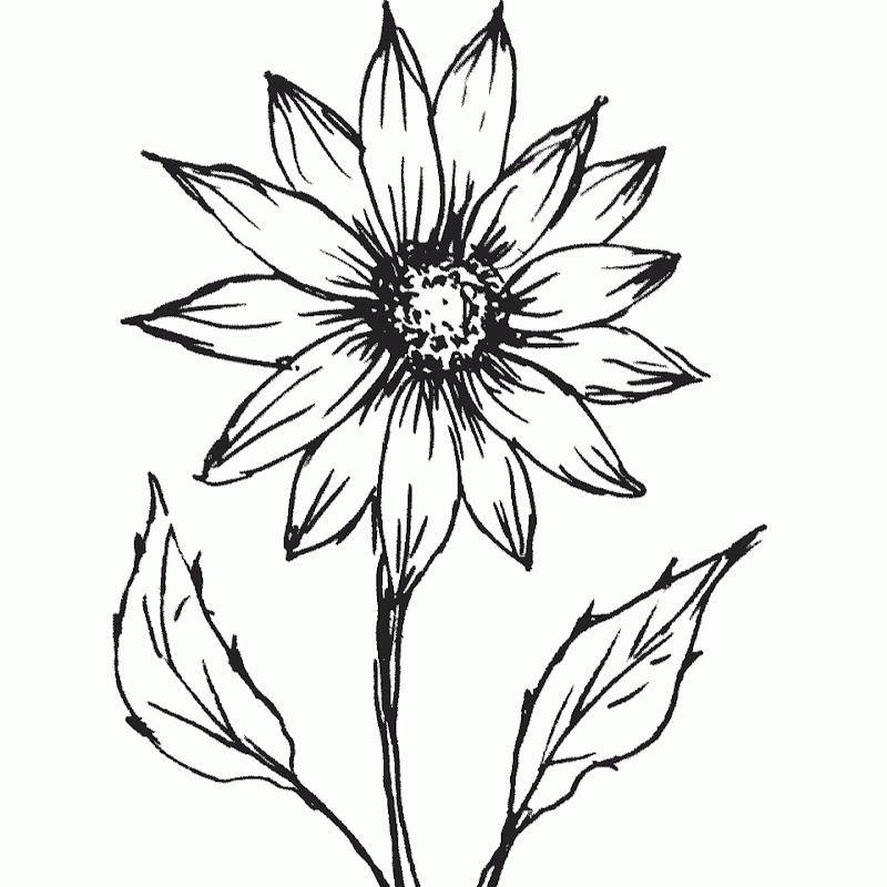 gambar bunga melati untuk mewarnai