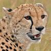 CheetahLayri