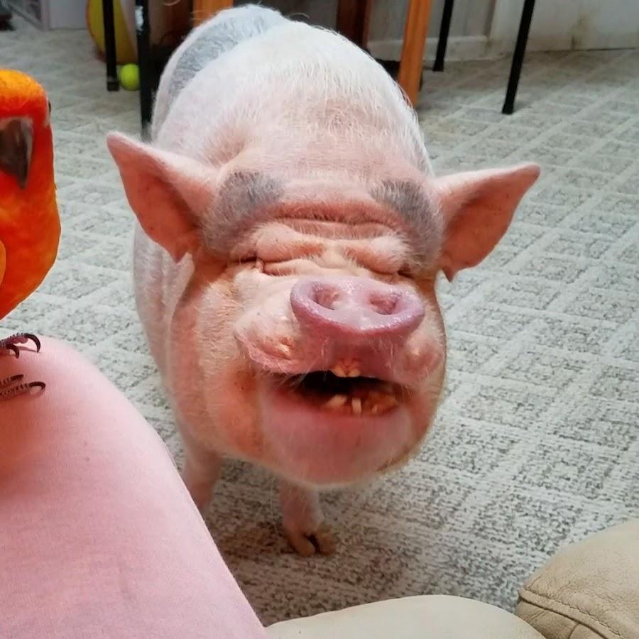 Днем, смешные картинки про свинью на новый год