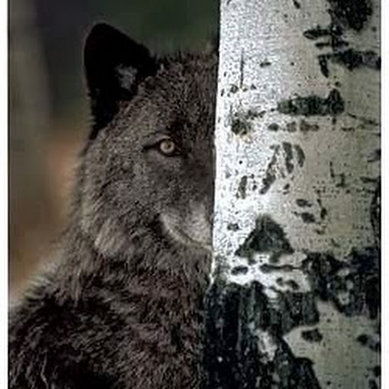WolfEchoes