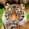 Tiger Tips