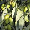 Mesto Artisan Olive Oil