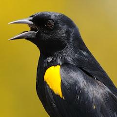 Canto de Pássaros