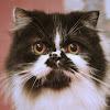 Luvmycats Persians