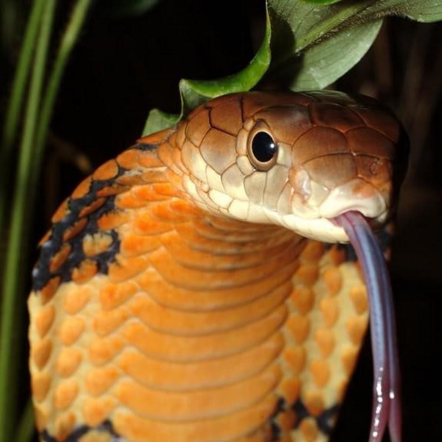 Змеи кобры картинки красивые