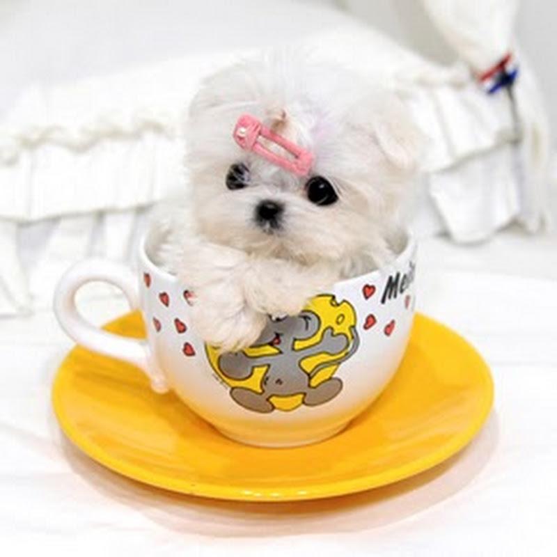 Teacup Puppies KimsKennelUS
