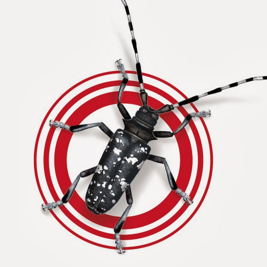 Open perfect asian longhorn beetle pic and