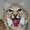 Katara the Bobcat