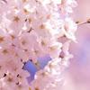 桜ライブカメラ