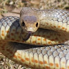 SnakeOut Brisbane
