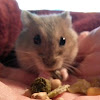 RussianDwarfHamster.Org (The Website for Russian Dwarf Hamsters)