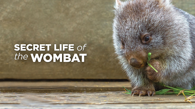 Watch Secret Life of the Wombat online | YouTube TV (Free ...