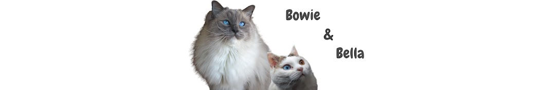 Bowie The Ragdoll Cat Banner