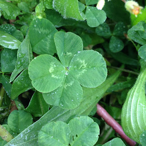 Piping Clover