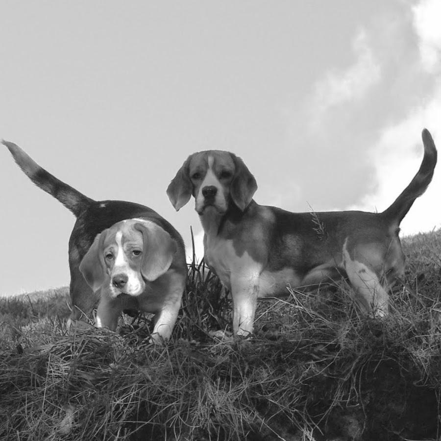 Bellvalley Beagles