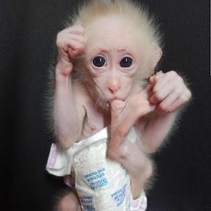 Baby Monkey Joe