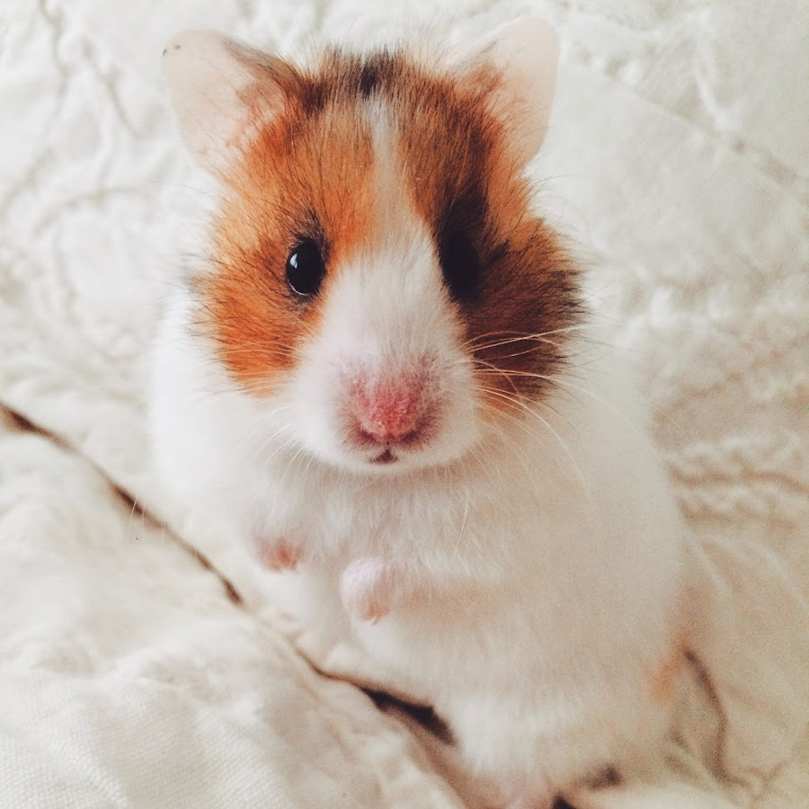 Hilly Hamster