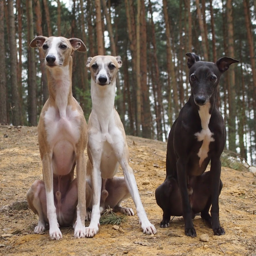 agilitywhippets