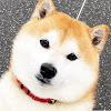 SHIBA DOG RANMARU2