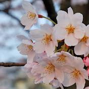 pka sakura