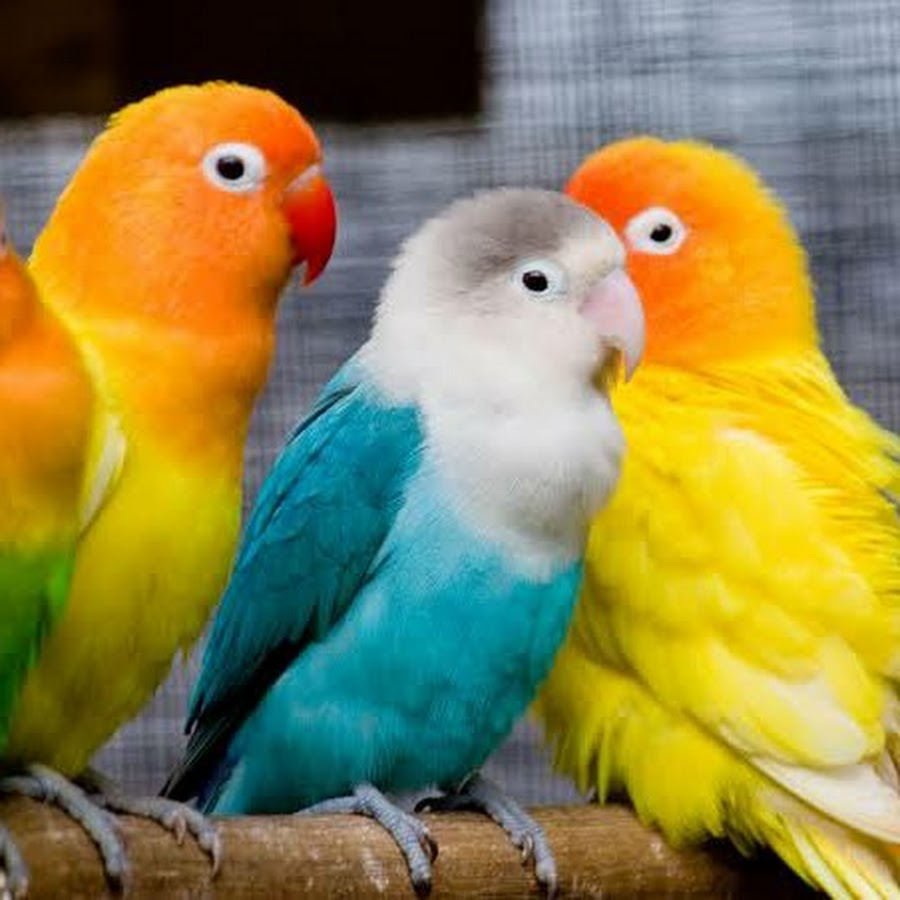 Aligarh Budgies and