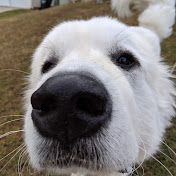 Baron the Great Pyrenees
