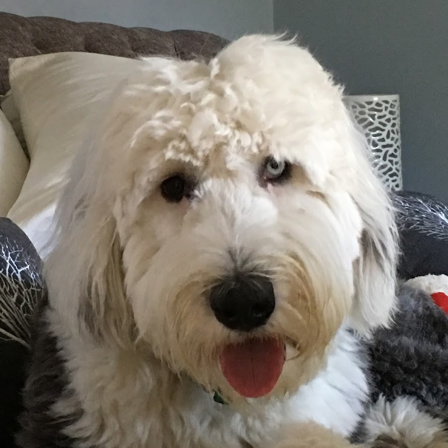 Izzy the Sheepadoodle