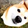 SHIBA DOG  RANMARU