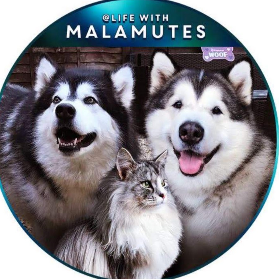 Life With Malamutes New Puppy – Gained popularity during the gold rush of the 1800s.