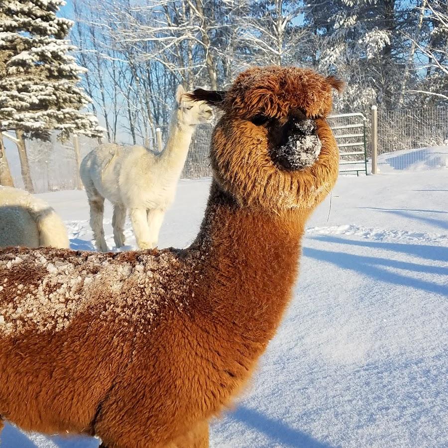 Northern Solstice Alpaca Farm Youtube