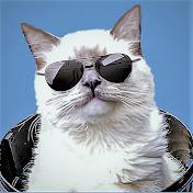 Bowie The Ragdoll Cat