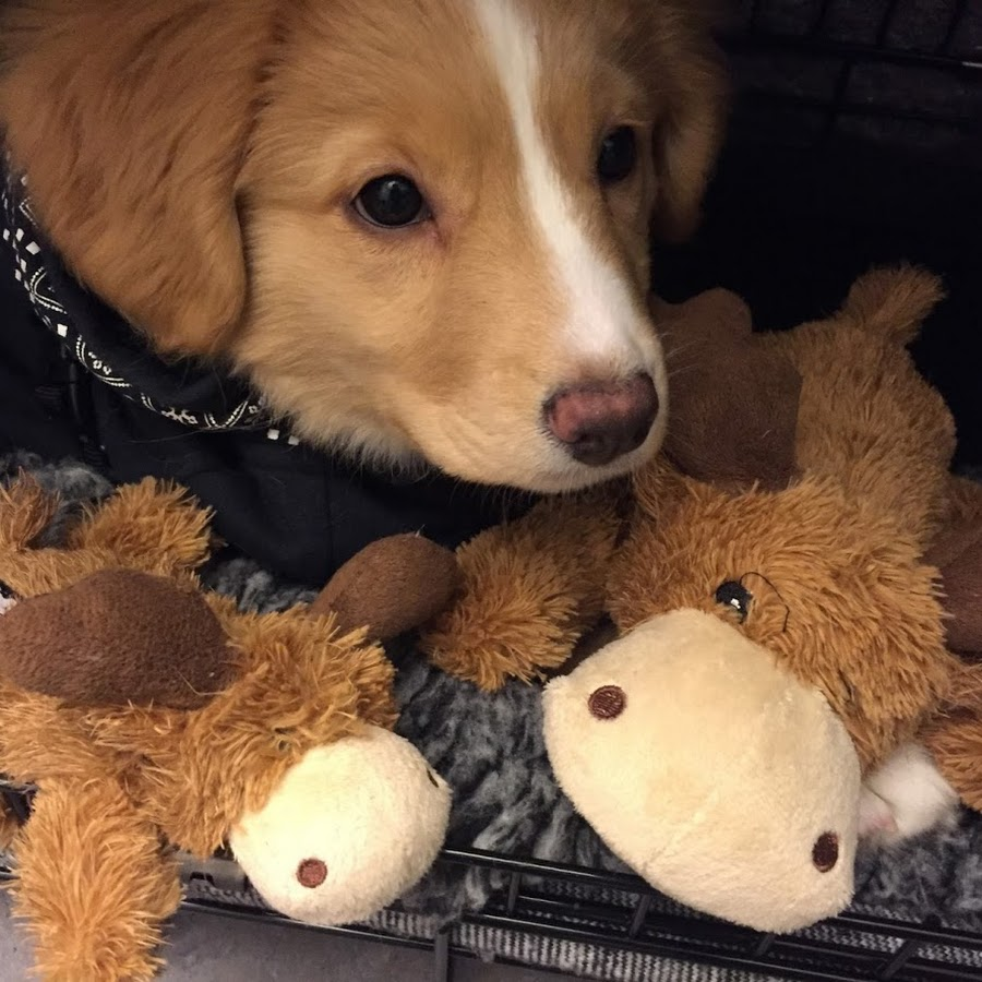 Moxie The Toller