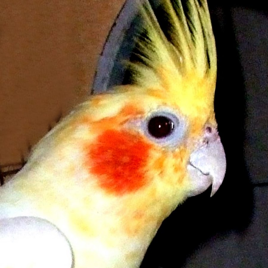 parrot breed point