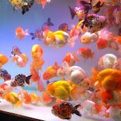 criadero de betta y goldfish Javier RD net worth