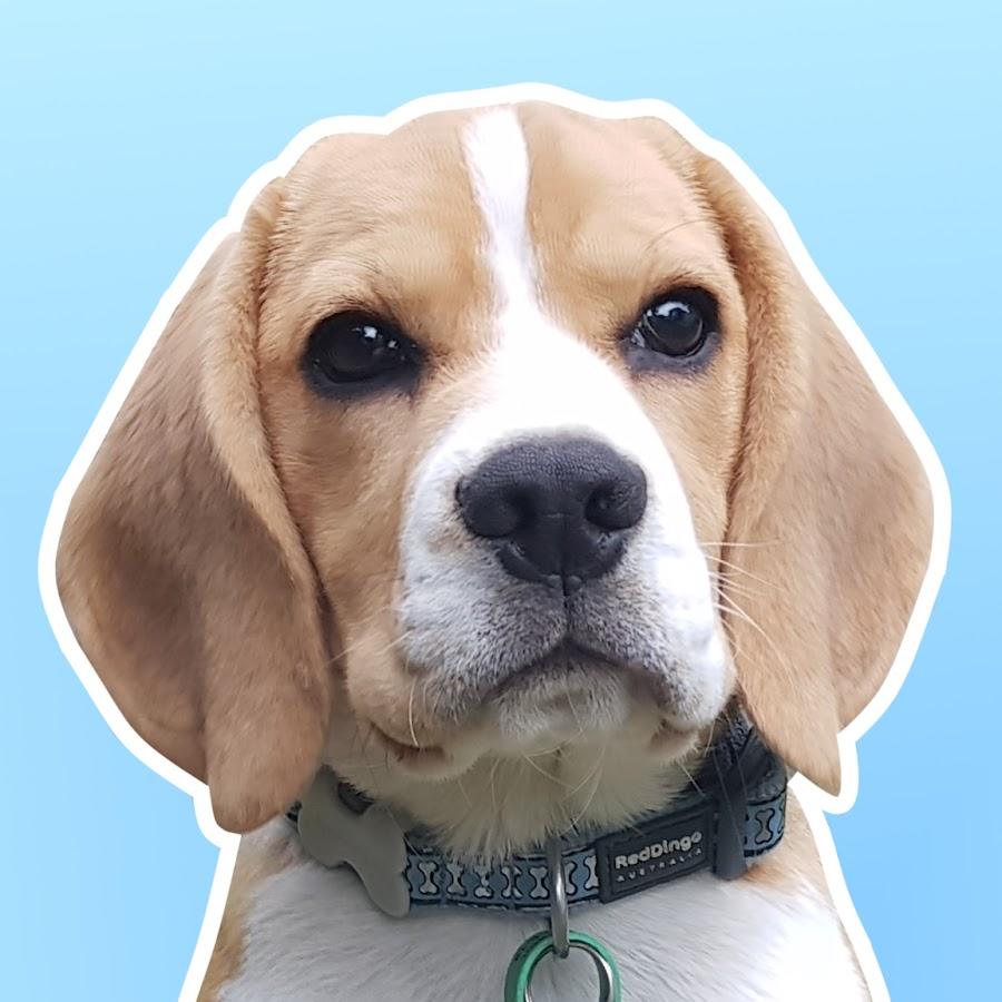 Smudge the Beagle