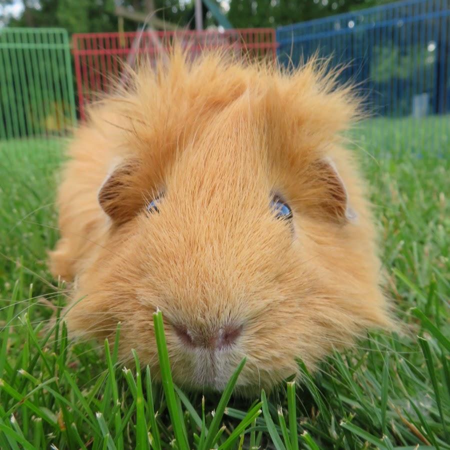 Guinea Pig Land