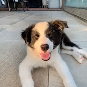 Hiso the Border Collie