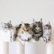 Life with Maine Coon Cats