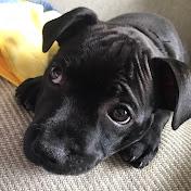 Odin the Staffordshire Bull terrier