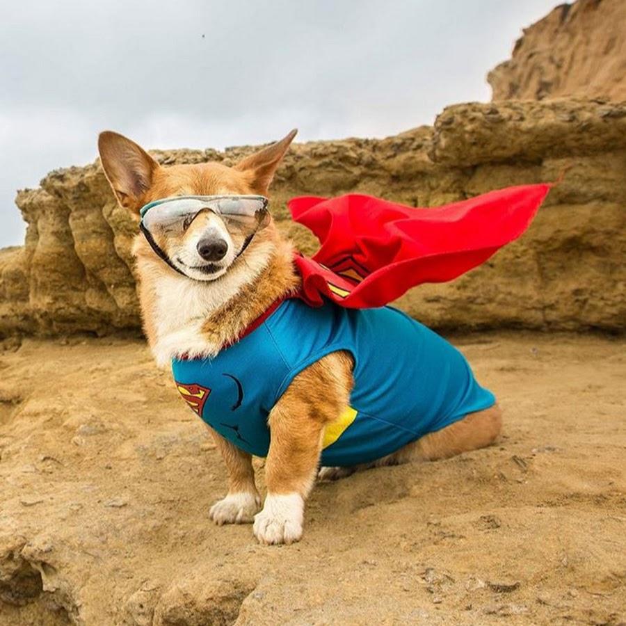 Super Corgi Jojo