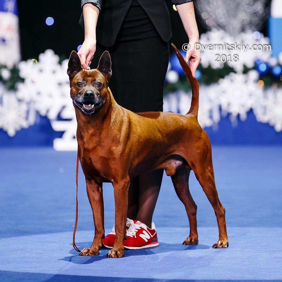 THAI RIDGEBACK DOG No 1