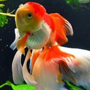 Tithra (Green Mountain Goldfish) Avatar