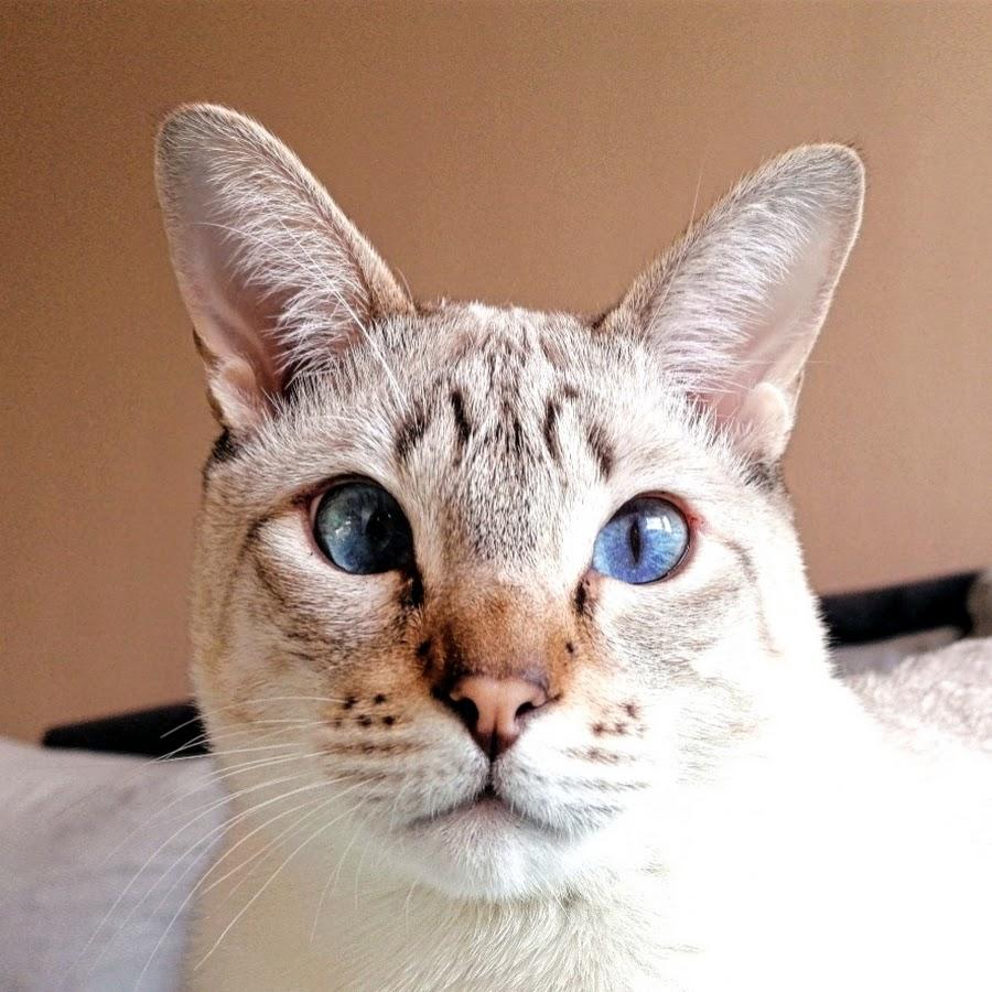 Licko The Siamese Cat
