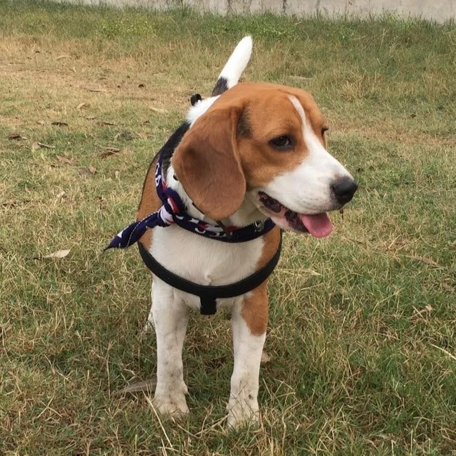 Moglee The Beagle