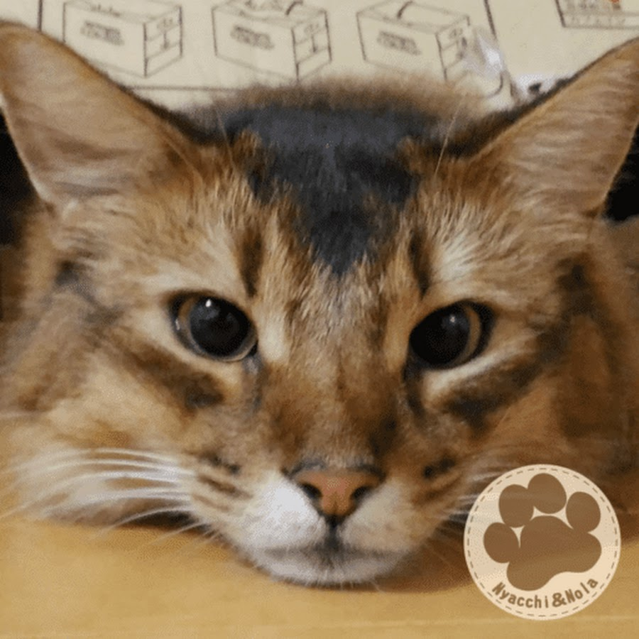 猫のにゃっち somali cat